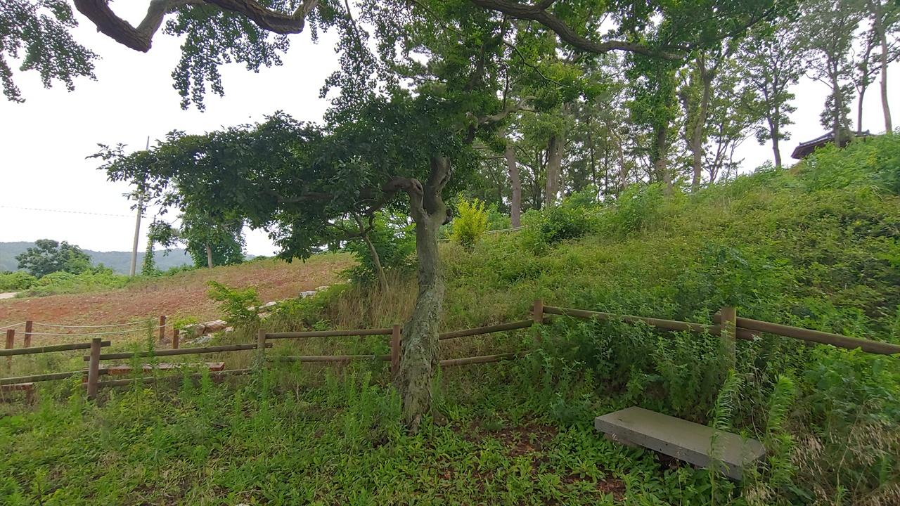 팽나무. 풍어제 때 가장 먼저 제를 올렸던 신목으로 마을 주민들은 은행나무보다 더 수령이 오래되었다고 믿는다.