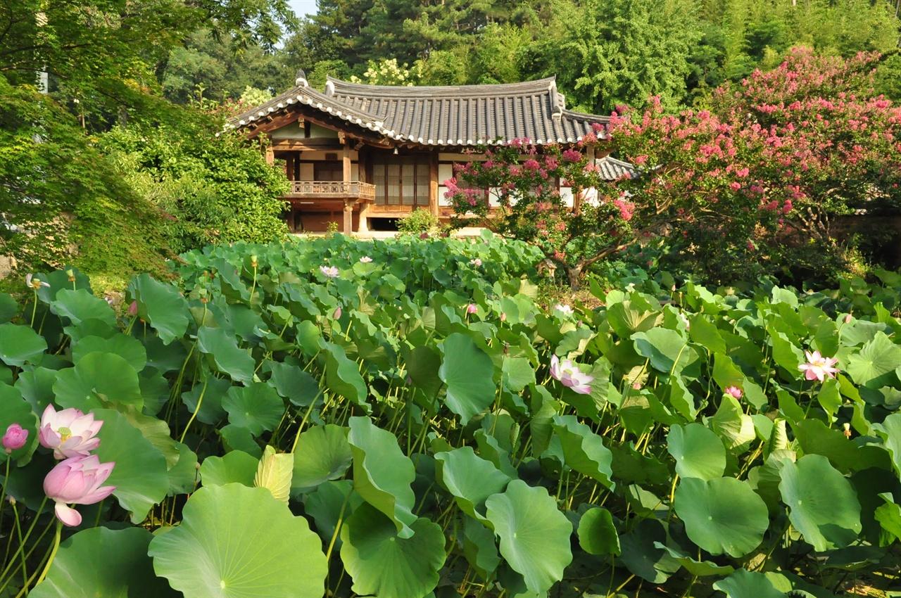 붉게 타오르는 배롱꽃과 연꽃에 둘러싸인 하엽정의 풍경. 8월이면 초록색 잎사이로 분홍 연꽃이 피어나 장관을 이룬다.