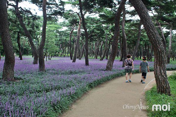 경주 황성공원 맥문동 군락지 주위 산책로를 시민들과 관광객들이 걷고 있는 모습