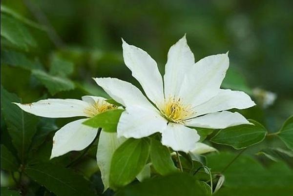 큰꽃으아리 봄이 다 지나고 여름이 막 시작될 5월쯤이었는데, 늘 다니던 산길 가에 전날까지도 없던 연미색 꽃잎이 아주 넓적하니, 커다랗게 피어 있는 걸 보았습니다. 그 꽃은 성인이 된 후에서야 이름을 알게 되었는데 '큰꽃으아리' 즉, 클레마티스의 야생 우리꽃 입니다.