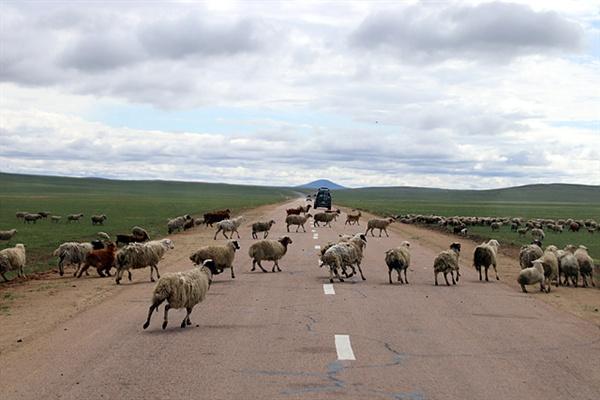 몽골은 초원 중앙에 도로가 많이 놓여 있어 반대쪽 초지로 가기 위해 이동하는 가축을  주의해야 한다
