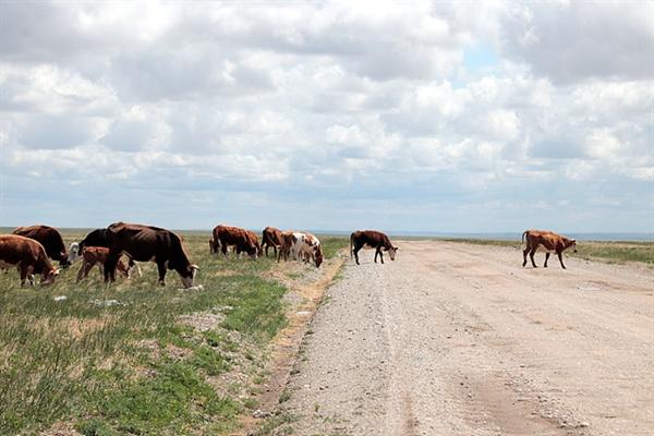 도로 위를 천천히 걸어가는 소들 모습