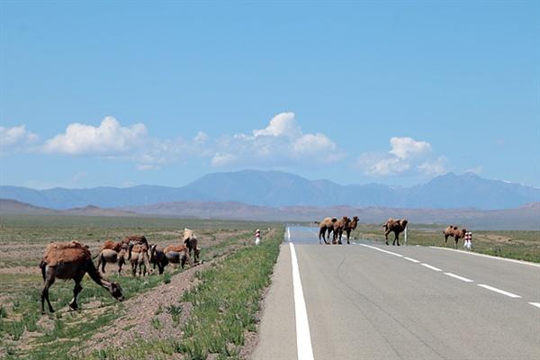 몽골사막의 배 역할을 했었던 낙타들이 도로를 건너고 있다. 도로를 건넌 후 흘끔흘끔 돌아보며 멋진 포즈를 취해주기도 해 사진 모델이 되기도 한다.