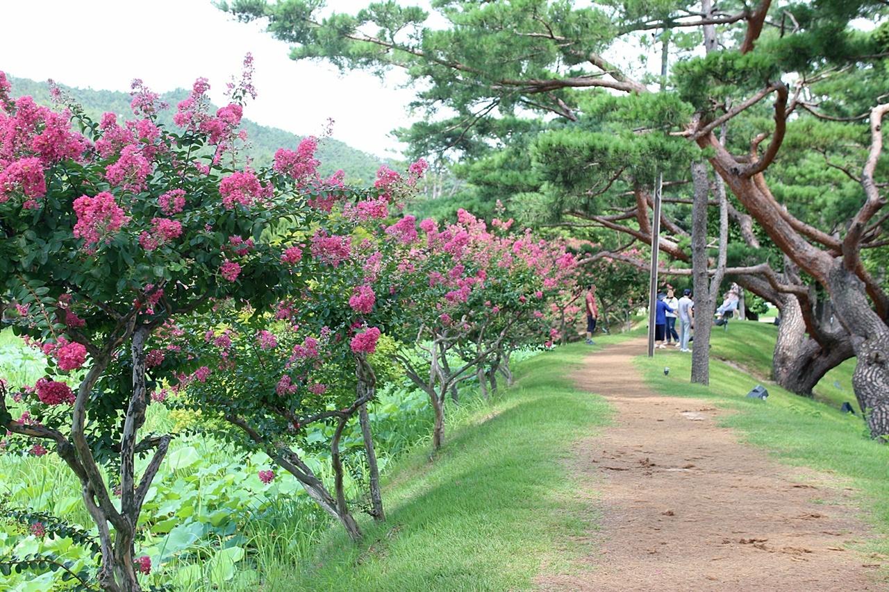 경주 서출지 연못 주위에 빨갛게 핀 배롱나무 모습