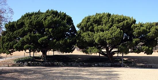 이등박문과 순종이 나란히 일본산 향나무 두 그루를 기념식수하였는데, 달성공원 한복판에 있는 이 두 그루 일본산 향나무가 아닐까 추정되고 있다.