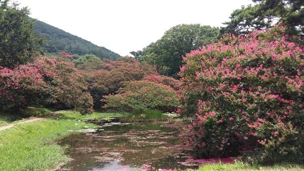 아름다운 경관을 자랑하는 명옥헌 원림에는 고목의 배롱나무가 연못과 정자와 함께 어우러져 아름다운 여름날의 풍경을 만들어 내고 있습니다, 연못 한가운데 둥그런 천상의 섬이 있습니다