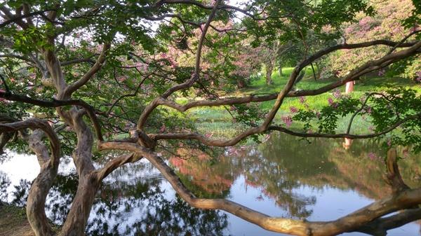 스스로 껍질을 벗는 배롱나무는 겉과 속이 똑같습니다. 원숭이도 이나무에서는 떨어진다 하여 '미끄럼 나무'라고도 합니다
