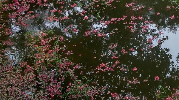 명옥헌의 연못에 떨어진 붉은 꽃잎이 처연합니다