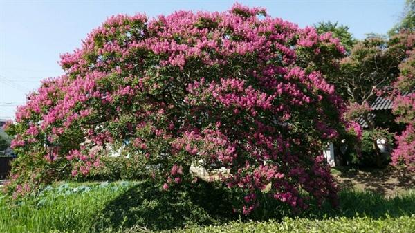 요즈음 남도 지방에는 어디를 가든 배롱꽃을 볼 수 있습니다. 광주광역시 북구에 있는 고택, 김용학 가옥의 연못에도 배롱꽃이 피었습니다