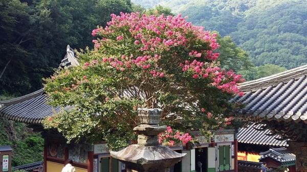 무등산 증심사 오백전에서 바라본 배롱나무입니다