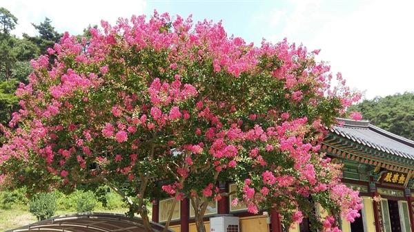 문빈정사 극락전 옆의 배롱나무는 망자들의 극락왕생을 기원하고 있습니다