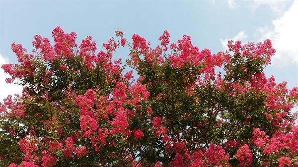 배롱나무의 붉은 꽃은 변하지 않는 붉은 마음, 단심(丹心)을 상징합니다. 사당에서 많이 볼 수 있는 이유입니다