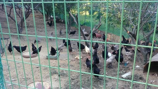닭장 안에는 파란 알을 낳는 청계와 촌닭 등 수많은 닭들이 무리지어 모이를 쪼아대고 있다.