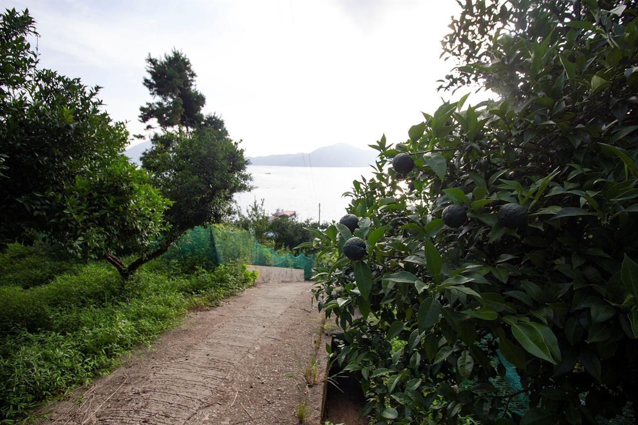 수도 새바지 언덕의 유자밭 유자나무가 숲을 이루고 가조도가 보인다.
