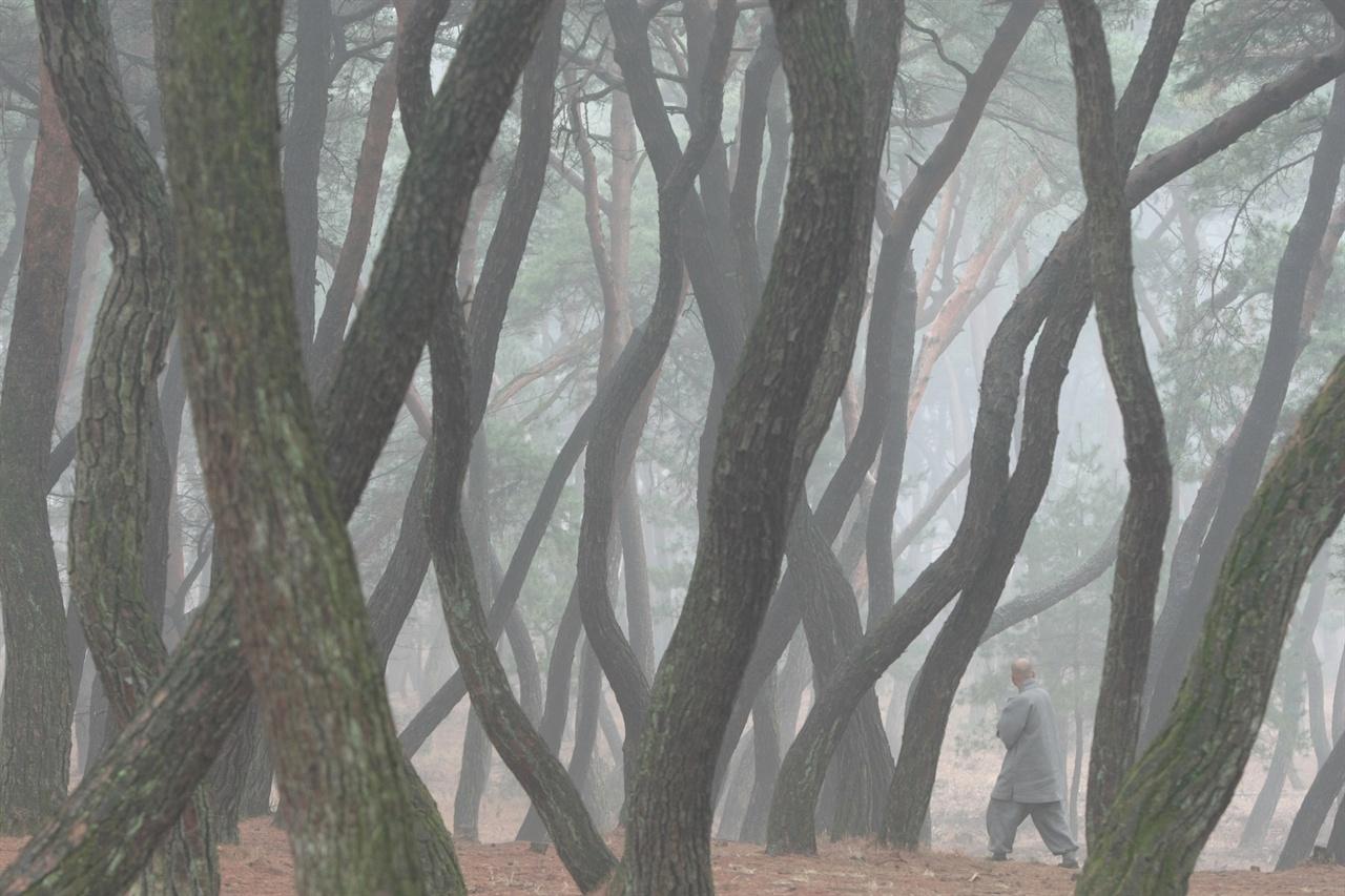 안개 자욱한 삼릉 솔숲을 걸어가는 스님.