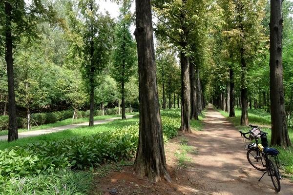 호젓하고 아늑한 메타세쿼이아 나무 숲길.