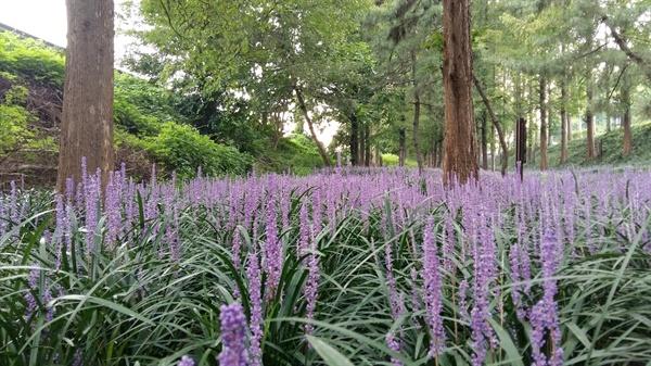 맥문동은 꽃보다는 약초로 더 많이 알려진 식물이다. 백합과 여러해살이 풀로 겨울에도 푸른 잎이 남아 있을 정도로 생명력이 강하다
