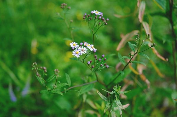 까실쑥부쟁이 강원도 숲에 가을꽃 쑥부쟁이가 피어나기 시작했습니다.
