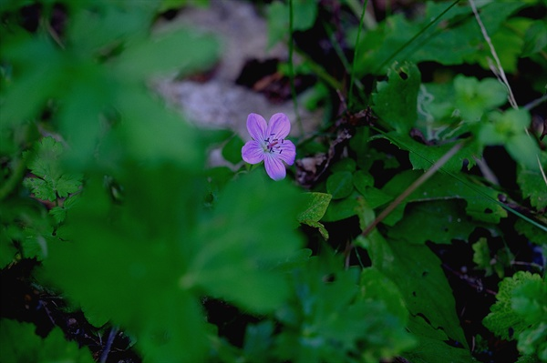 둥근이질풀 숲속에 수줍은듯 피어난 둥근이질풀은 보통 이질풀보다 꽃이 많이 큽니다.