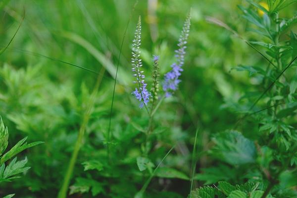 산꼬리풀 나같이 예쁜 꼬리를 달고 있으면 꽃향기가 날걸요?