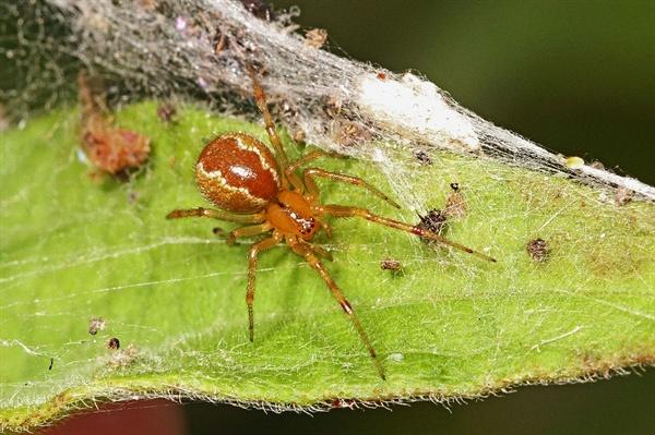 미국 남동부에 흔한 거미. 허리케인 등 기상이변을 겪은 뒤 공격적인 개체들이 살아남는 확률이 훨씬 높은 것으로 밝혀졌다.