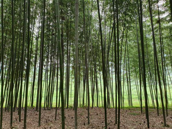 구례 섬진강 대나무 숲길