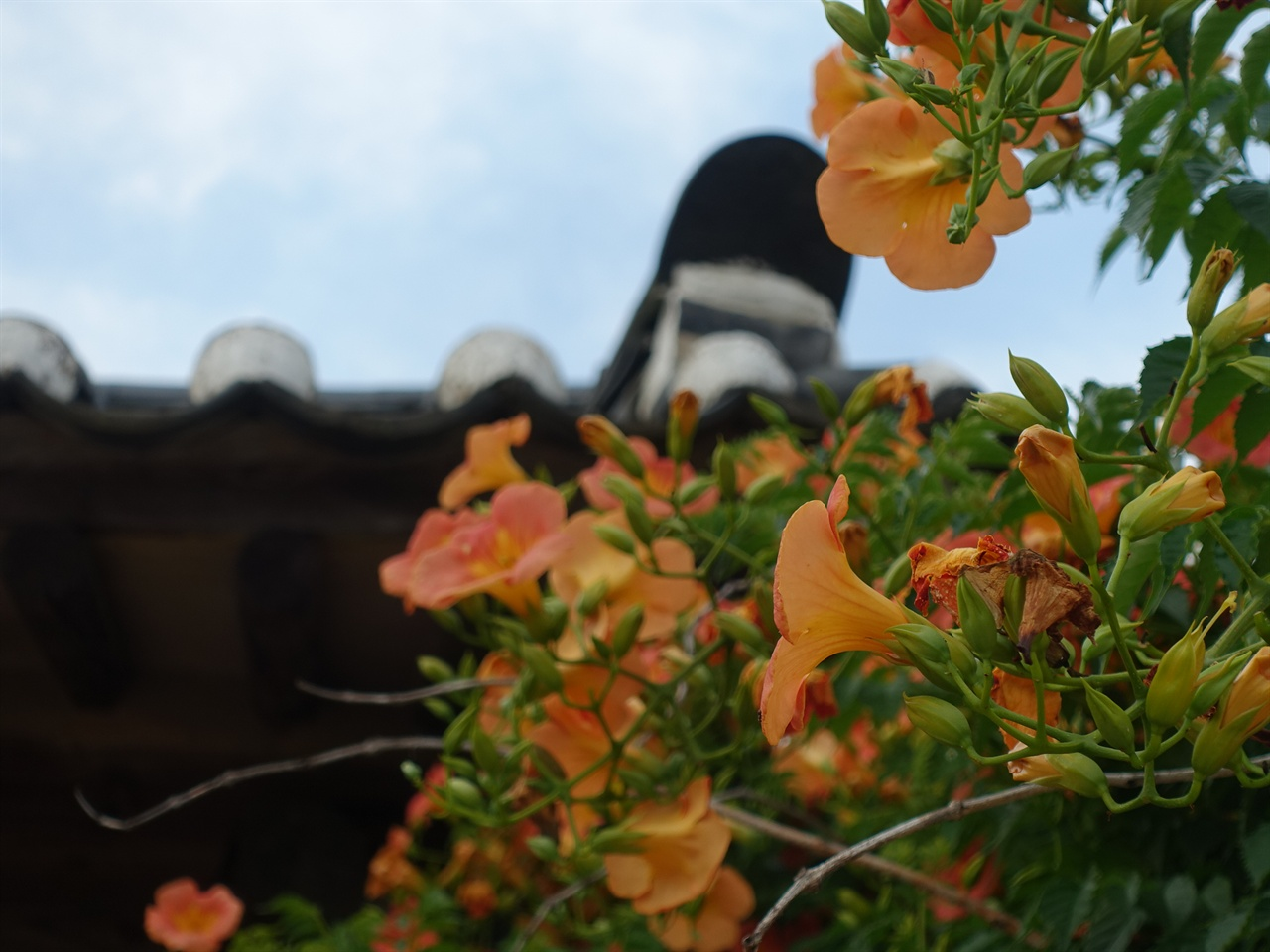 안동 고택 담장 위에 곱게 핀 주홍빛 꽃.