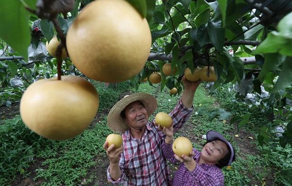 함양 수동면 우명리 효리마을 한 과수원의 배 수확.
