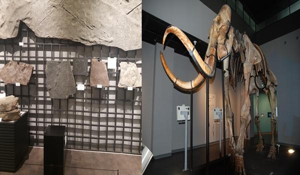 대전 천연기념물 센터 화석관 좌(대전 천연기념물 센터에 있는 공룡화석 대부분은 진주에서 이관됐다), 우(매머드 화석은 대한민국 국적의 재일교포 2세인 일본 나가노현 고생물학박물관 박희원 관장이 기증한 것이다)
