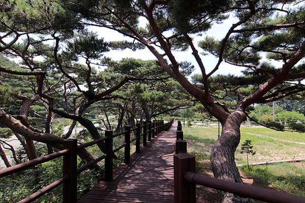 서포리 소나무 산책로로 2백년 이상된 소나무가 울창하게 우거진 숲이다.