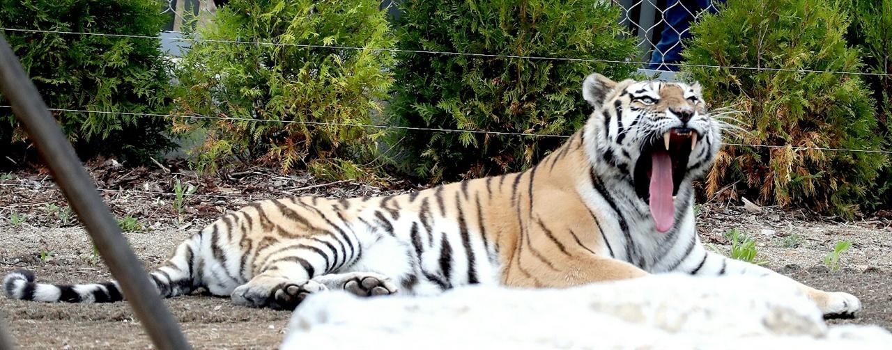 한때는 사방 1천 리 밀림을 지배했던 백두산호랑이의 포효.
