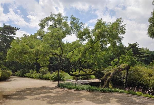 한자로는 느티나무와 같이 괴목으로 불렸고 동궐도에서도 보이는 나무이다. 뒤주에 갇힌 사도세자가 죽은 곳이 이 근처이고 비극적인 사건이 많이 발생한 선인문과 역사를 같이한 나무이다.-창경궁 회화나무 안내문 전문.
