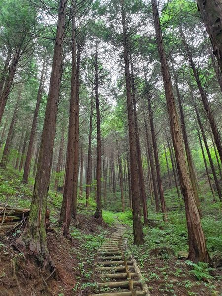 구례 계척마을 편백나무 숲길