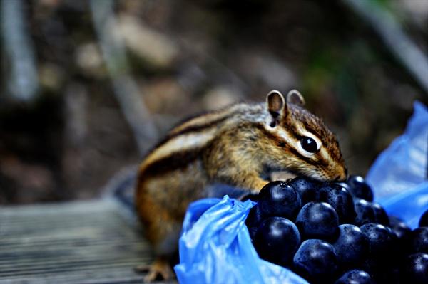 육담폭포에서 휴식을 취하며 포도를 먹으려는데 다람쥐가 먼저 시식한다.