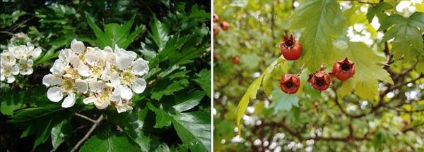 산사나무 꽃과 열매.