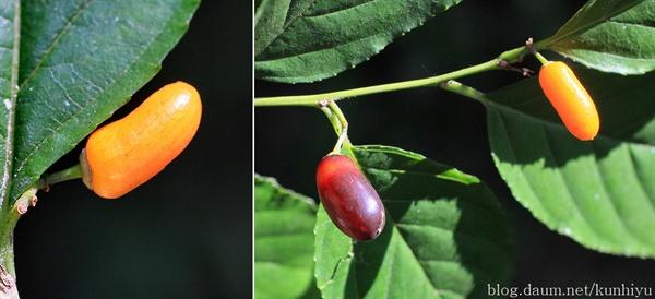 까마귀베개 열매. 점차 익어 까맣게 된다.