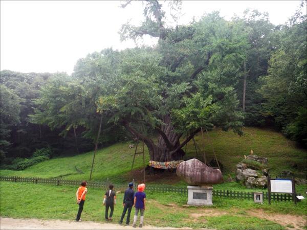 수령 천 년이 넘은 보석사 은행나무(천연기념물 제365호).
