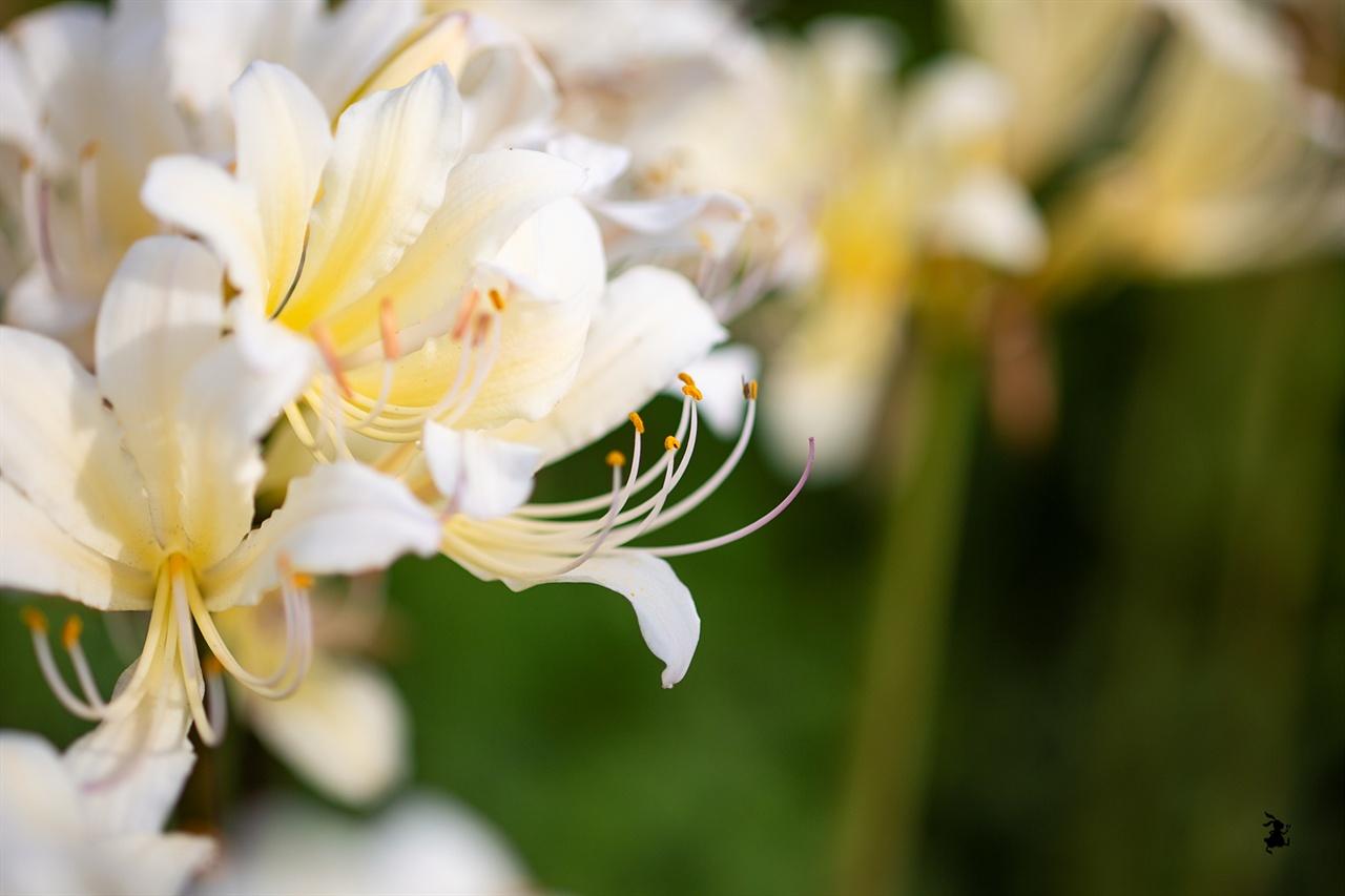위도상사화 잎과 꽃이 서로를 그리워하지만 한 번도 만주 하지 못해 상사화라 불린다.