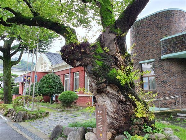 왕버들나무 구례읍사무소의 보호수로 600년이 넘은 나무입니다.