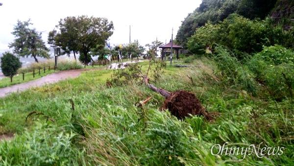7일 창원 귀산동에 있는 가로수가 태풍에 쓰러졌다.