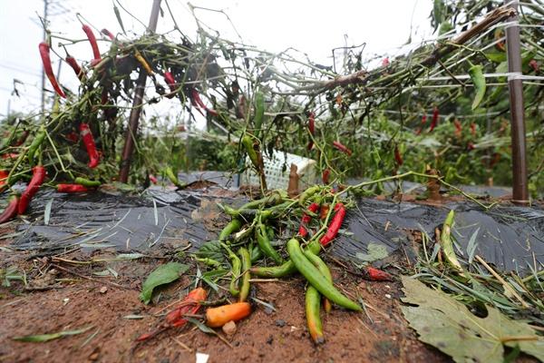 태풍 '링링'이 북상하는 7일 오후 충남 태안군 안면읍 창기리에 있는 한 고추밭이 강풍으로 농작물 뿌리가 뽑히는 등 큰 피해를 입고 있다.