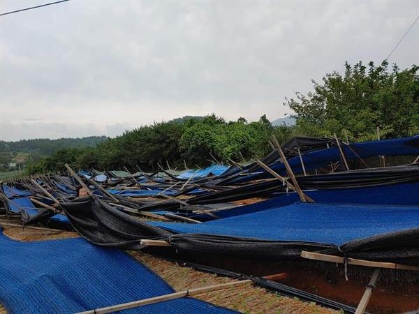 태풍 피해로 인삼 가림막이 모두 쓰러졌다.