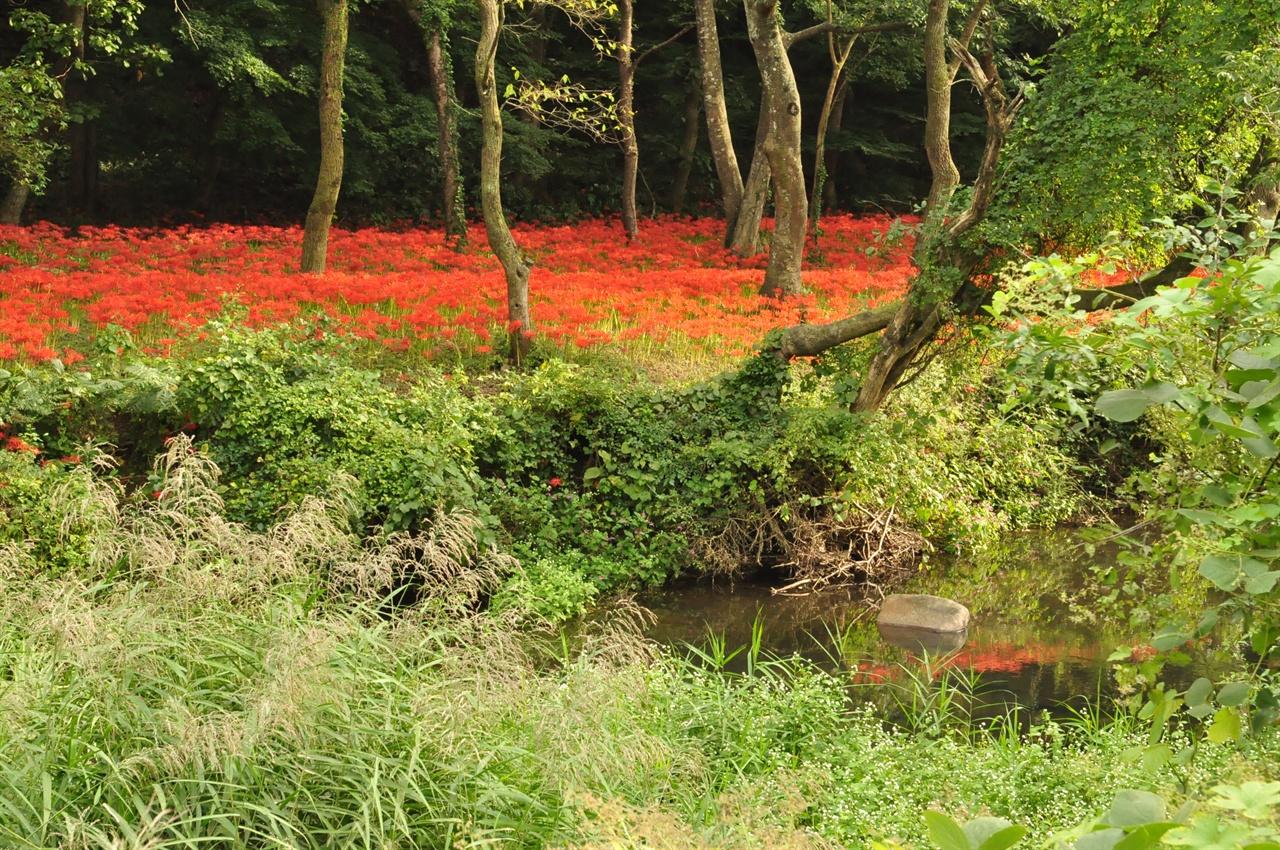 주차장에서 일주문까지 도솔천 건너 숲속은 마치 붉은 카페트을 깔아놓은 듯 꽃무릇이 지천으로 피어난다.