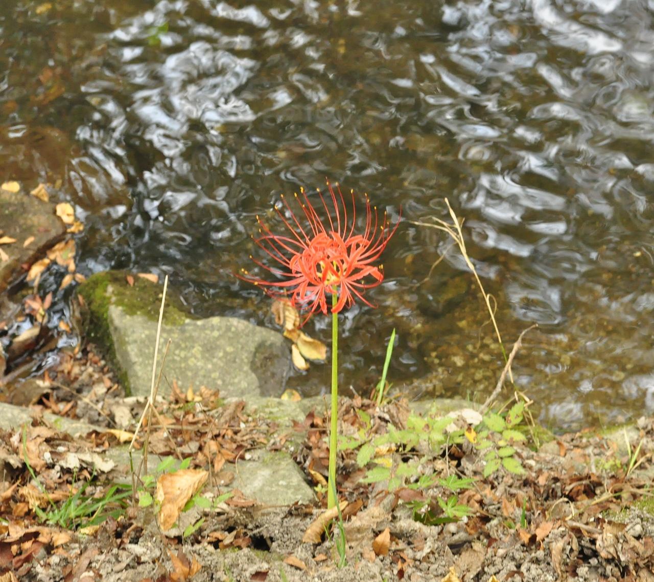 작은 이파리 한 장 없이 껑충한 줄기 위에 빨간 꽃송이만 달랑 피워낸 모습을 보노라면 어쩐지 마음이 애틋해진다.