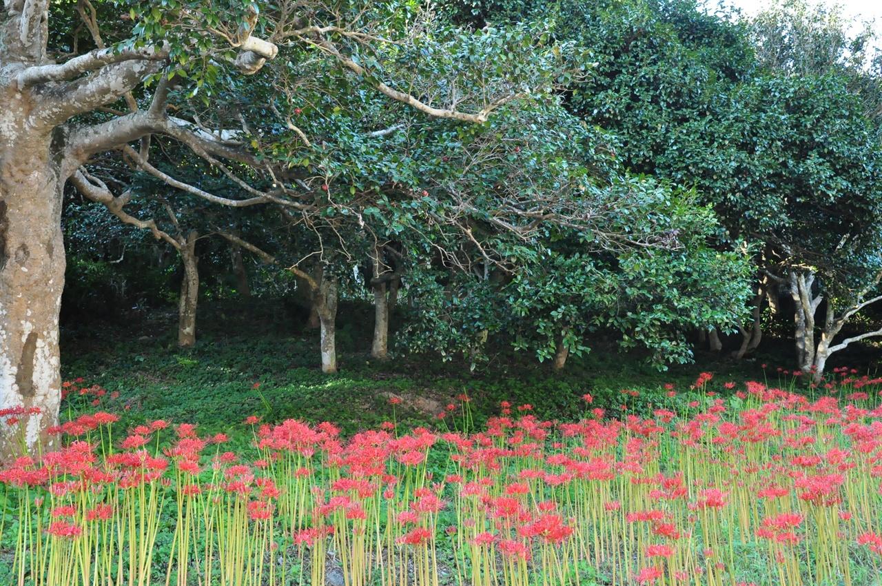 유명한 선운사 동백림. 동백이 떠난 자리에는 선혈처럼 붉은 꽃무릇이  피어났다.