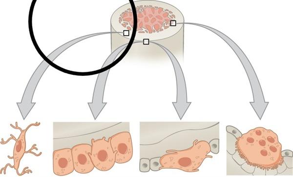 주요 뼈 세포들 뼈의 주요세포들. 뼈 조직세포, 뼈모세포, 뼈 간세포, 파골세포. (왼쪽부터) 오스테오칼신 호르몬은 뼈모세포에서 분비된다.