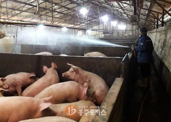 현재 홍성군에는 410개 축사에서 58만5109마리의 돼지를 사육하고 있으며 돼지 축사 면적도 67만4633㎡에 달한다. 국내 첫 발생으로 초비상 상태에 들어간 홍성군은 그동안 추진해왔던 아프리카 돼지열병 차단을 위한 방역을 더욱 강화한다는 방침이다.