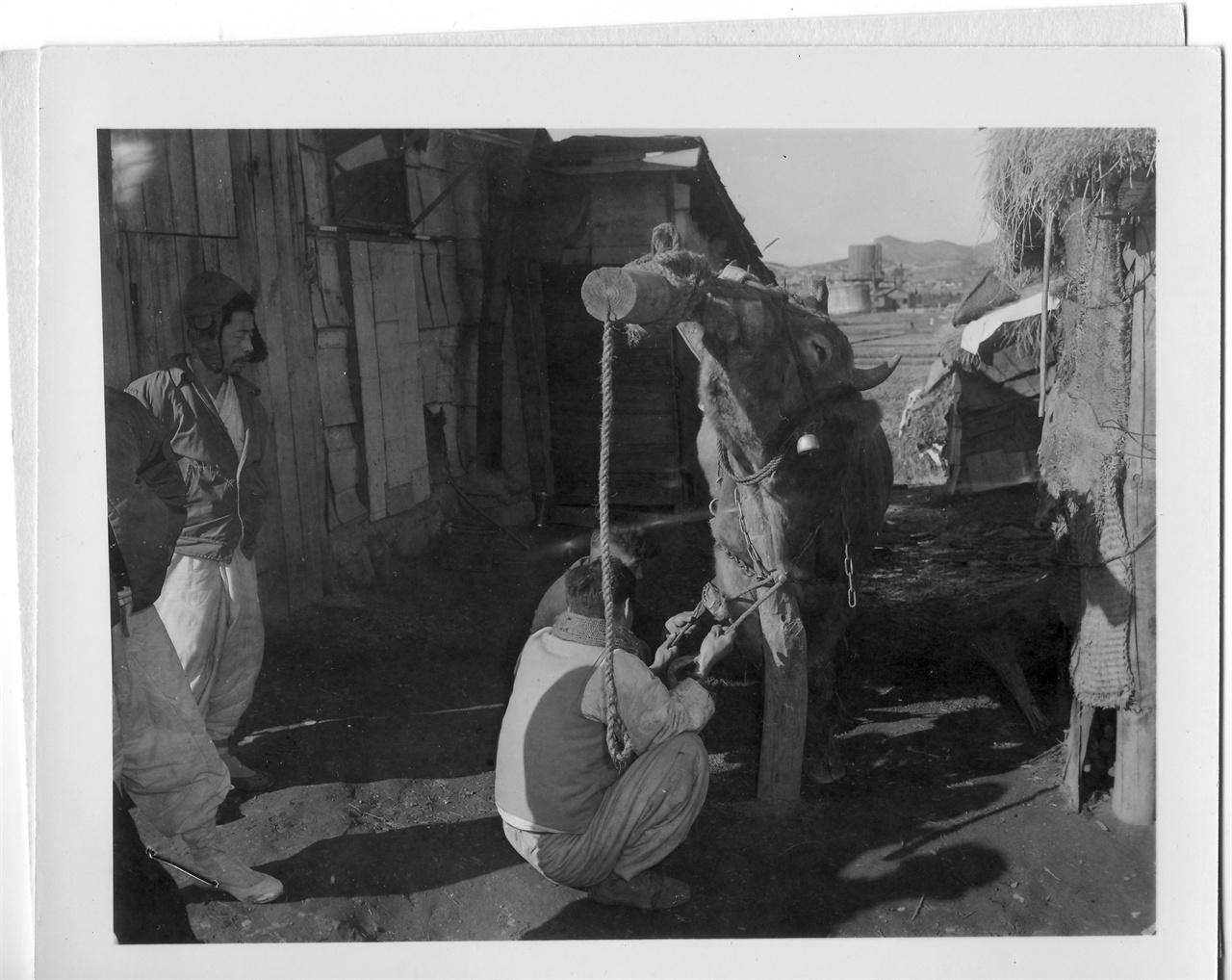 한 농부가 소를 묶은 뒤 앞발에 편자(U자 모양의 쇳조각)를 박고 있다(1954. 1. 13.).