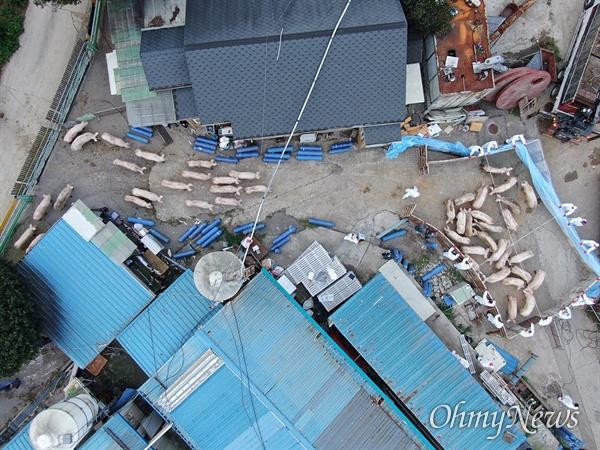 살처분장으로 향하는 돼지 국내 첫 아프리카돼지열병(ASF)이 발병한 가운데 17일 오후 경기도 파주 한 돼지농장에서 살처분이 진행되고 있다. 농림식품부는 발생농가 및 농장주가 소유한 2개 농장에서 돼지 3,950마리에 대해 살처분할 예정이라고 밝혔다.