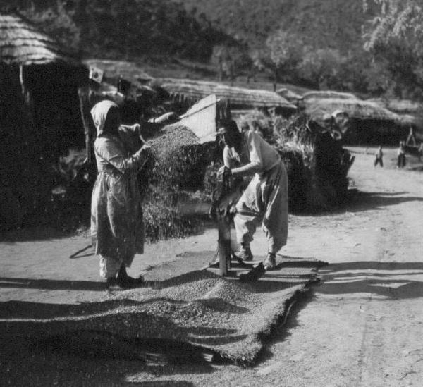 농부들은 전쟁 중임에도 추수를 하고 있다(1950. 11. 2.).